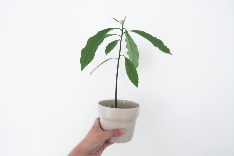 Avocadoplant